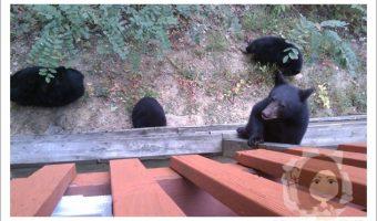 Bear cub climbing up on our upper deck.
