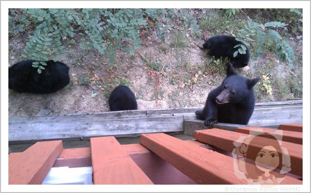 Bear cub climbing up on our upper deck.