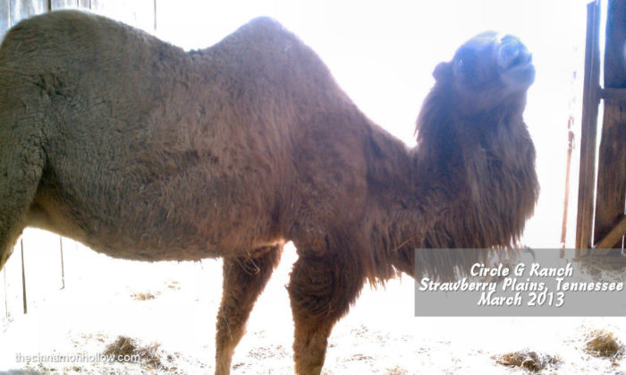 Circle G Ranch Dromedary Camel Mommy