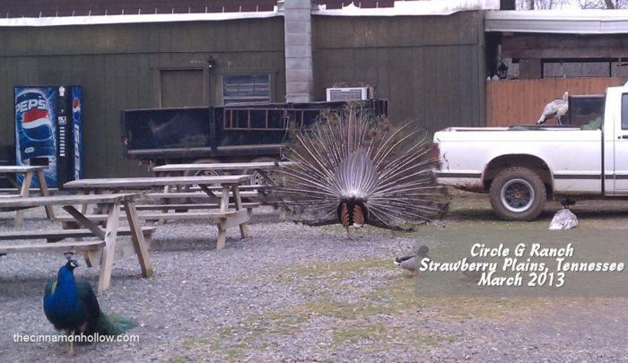 Circle G Ranch Peacock