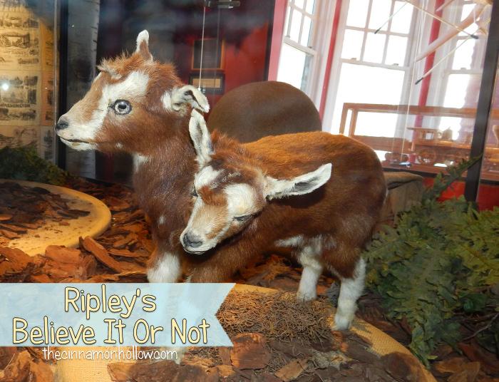 Ripley's Believe It Or Not Two Headed Goat