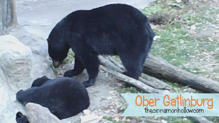 Black Bears Ober Gatlinburg