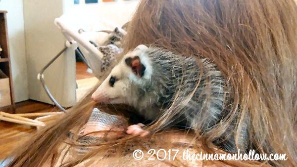 Opossum in Harrodsburg, KY. America Loves Pets TrustedHousesitters.com