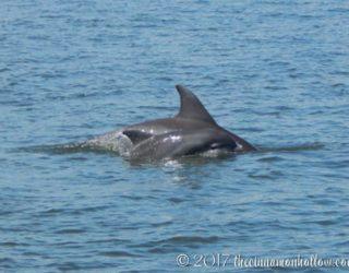 Jekyll Island Dolphin Tour Dolphins