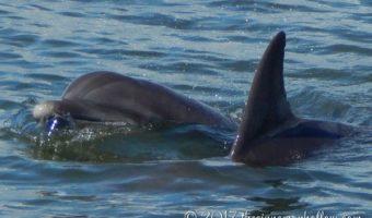 Dolphins - Jekyll Island Dolphin Tour