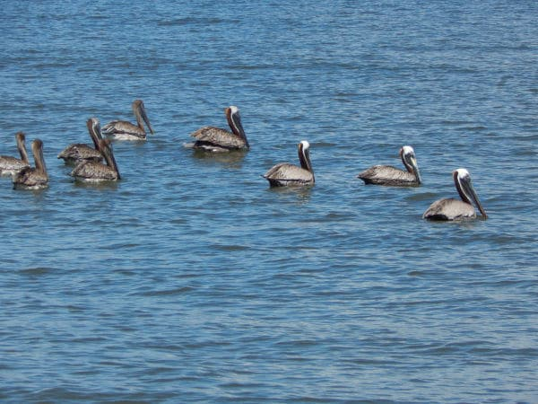 Pelicans - Jekyll Island Dolphin Tour
