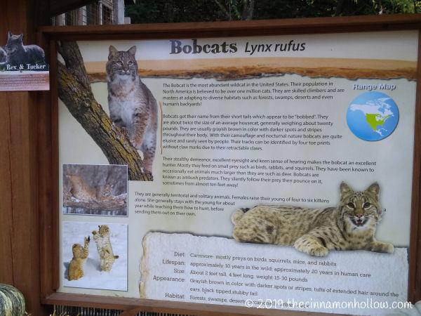 Ober Wildlife Encounter Bobcats