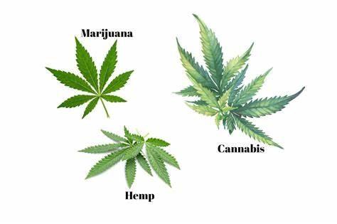 Hemp-Marijuana-Cannabis