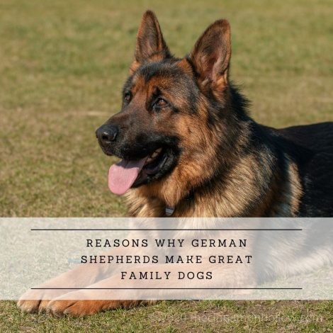 Reasons Why German Shepherds Make Great Family Dogs
